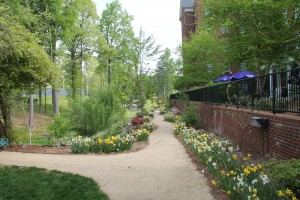 Daffodils begin the early show of color in the Azalea Path