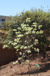The Bob Timberlake dogwood, a double flowered form of our native dogwood, is heavy with flower this spring.