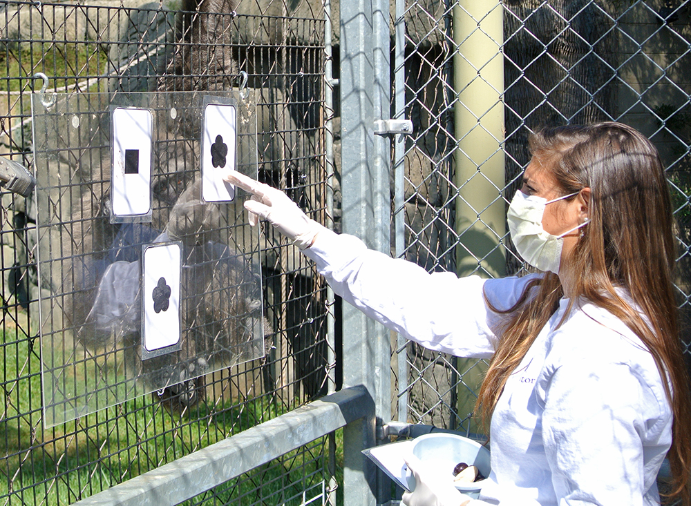 An HPU student tests for advanced cognitive functions in a gibbon at the Greensboro Science Center.