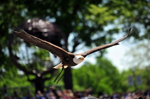 A bald eagle soars over graduates as part of a graduation tradition at High Point University.