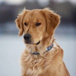 "Hudson the golden retriever, who appeared on an episode of ""Saturday Night Live."""