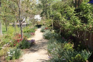 The Azalea path is transitioning from the early bloom of the daffodils to the blooming of the azaleas