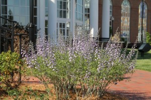 Baptisia 'Purple Smoke' (purple wild-indigo), a tough-as-nails perennial, blooms in the landscape at the Plato S. Wilson School of Commerce.