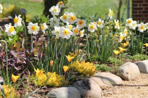 Daffodils and perennial tulips bring early color to the perennial garden
