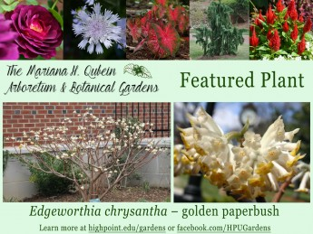 Arboretum & Botanical Gardens Featured Plant: Golden Paperbush