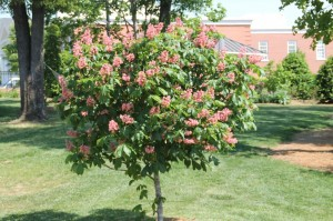 Aesculus ×carnea 'Fort McNair' (red horsechestnut) in full glory at Hayworth Park.