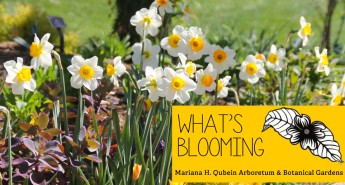 What's Blooming in the Arboretum: May 9, 2014